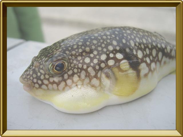 Рыба-собака — рыба, фото в рамке №3