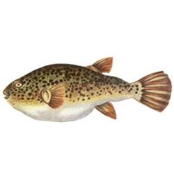 Рыба-собака — рыба, картинка цветная