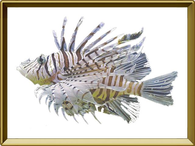 Рыба-зебра — рыба, фото в рамке №1