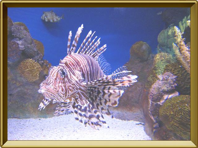 Рыба-зебра — рыба, фото в рамке №2
