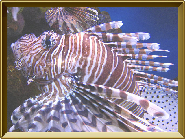 Рыба-зебра — рыба, фото в рамке №3