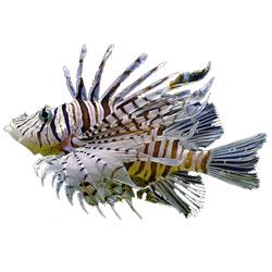 Рыба-зебра — рыба, картинка цветная