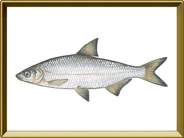 Рыбец — рыба, фото в рамке №1