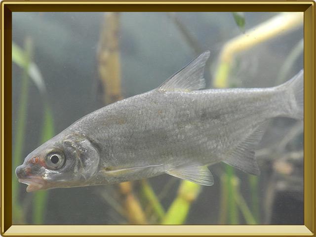 Рыбец — рыба, фото в рамке №2