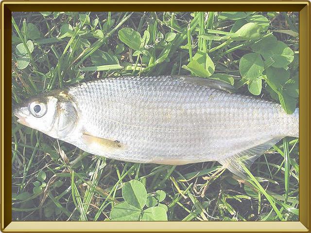 Рыбец — рыба, фото в рамке №3