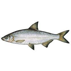 Рыбец — рыба, картинка цветная