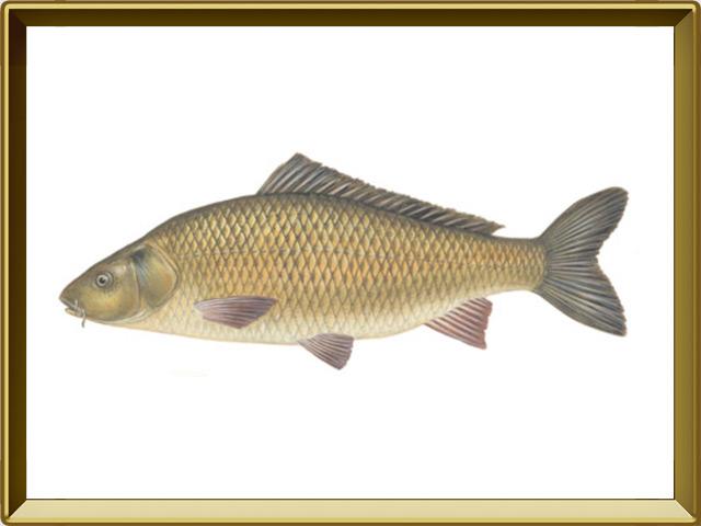 Сазан — рыба, фото в рамке №1