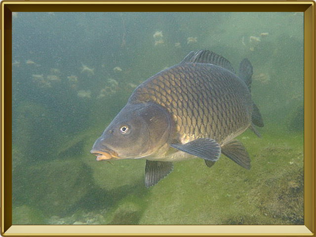 Сазан — рыба, фото в рамке №2
