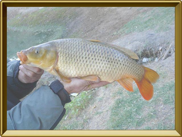 Сазан — рыба, фото в рамке №3