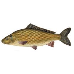 Сазан — рыба, картинка цветная