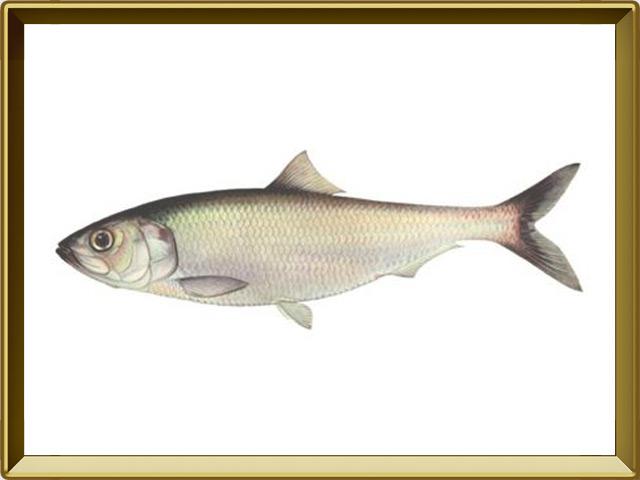 Сельдь — рыба, фото в рамке №1