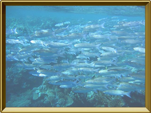 Сельдь — рыба, фото в рамке №2