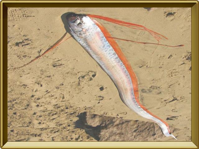 Сельдяной король — рыба, фото в рамке №2