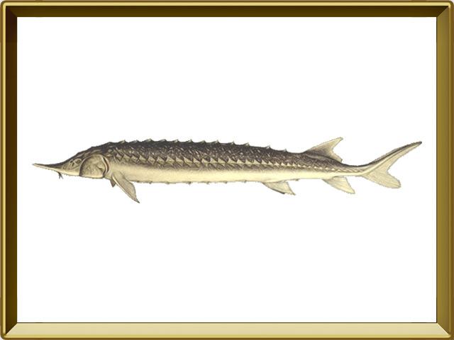 Севрюга — рыба, фото в рамке №1