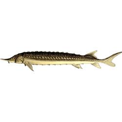 Севрюга — рыба, картинка цветная