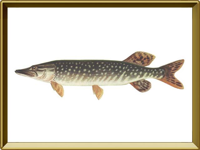 Щука — рыба, фото в рамке №1
