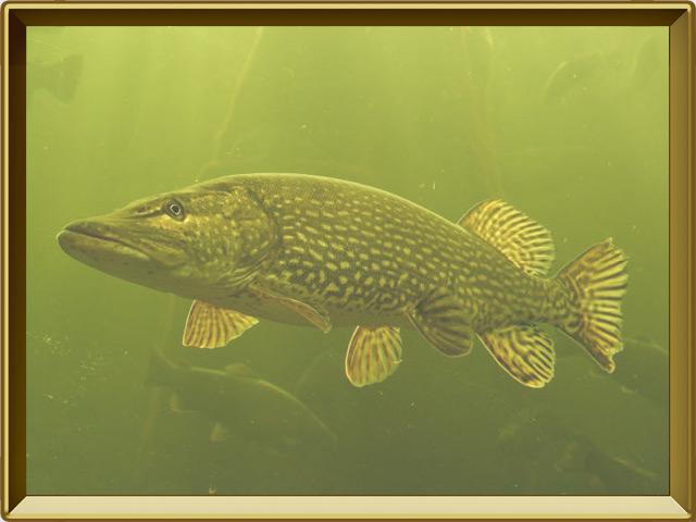 Щука — рыба, фото в рамке №2