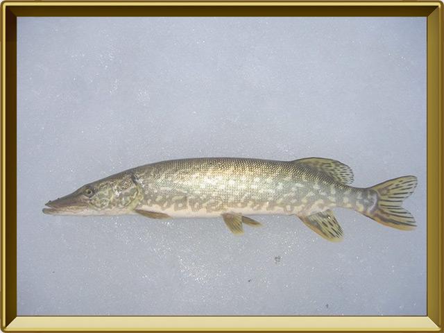 Щука — рыба, фото в рамке №3