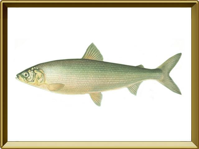Сиг — рыба, фото в рамке №1
