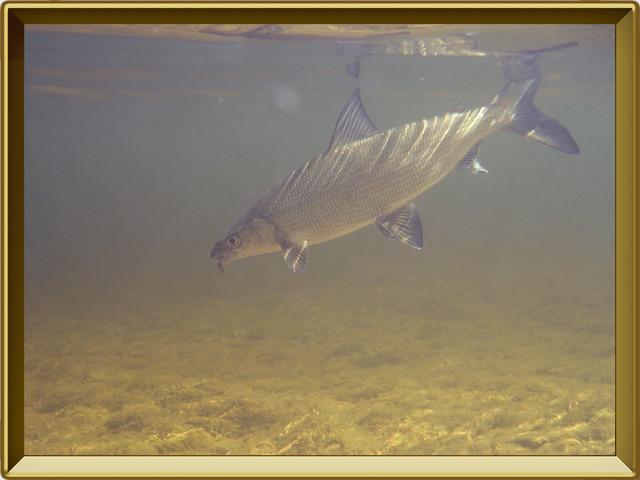 Сиг — рыба, фото в рамке №2