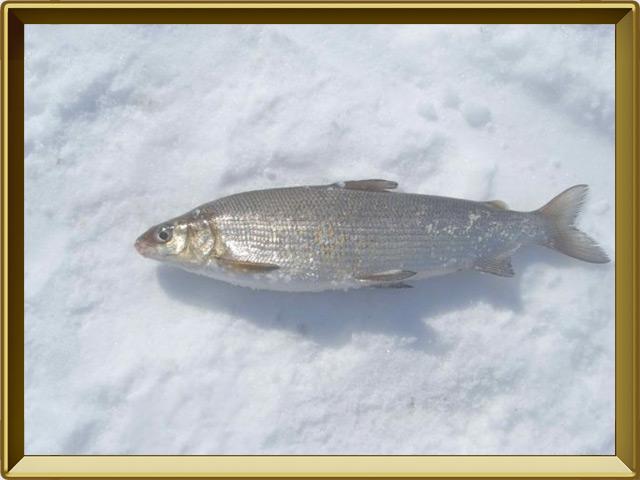 Сиг — рыба, фото в рамке №3