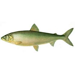 Сиг — рыба, картинка цветная