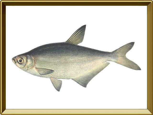 Синец — рыба, фото в рамке №1