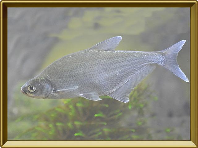 Синец — рыба, фото в рамке №2