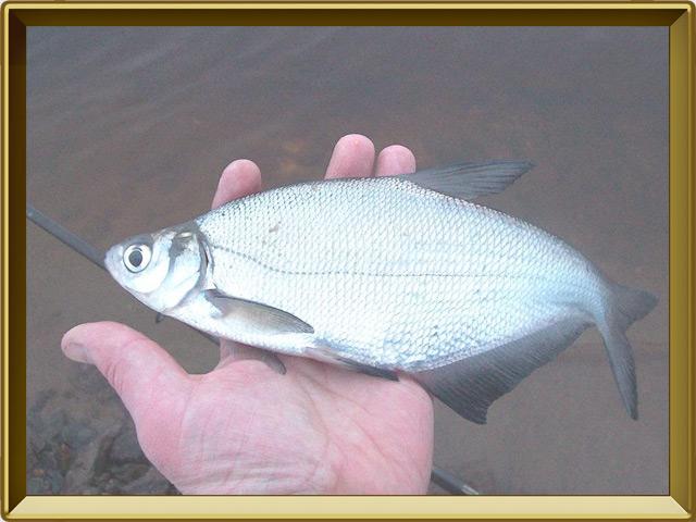 Синец — рыба, фото в рамке №3