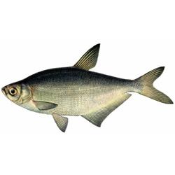Синец — рыба, картинка цветная