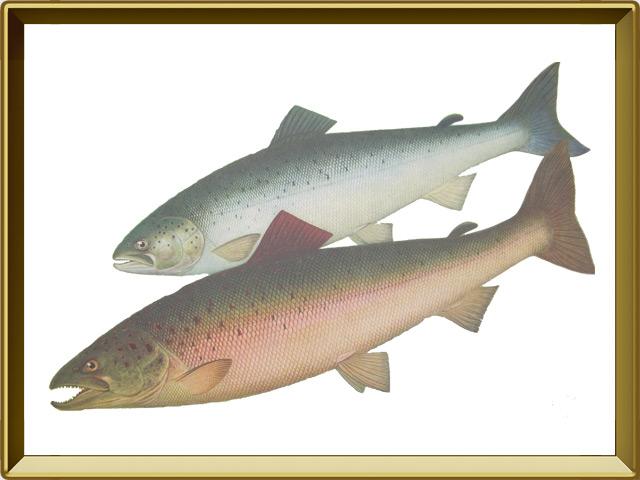 Сёмга — рыба, фото в рамке №1