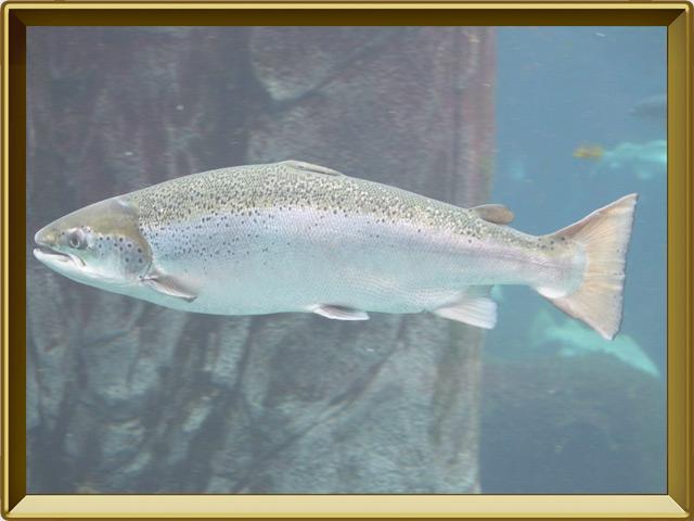 Сёмга — рыба, фото в рамке №2
