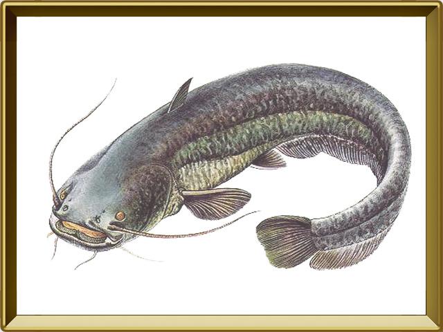 Сом — рыба, фото в рамке №1