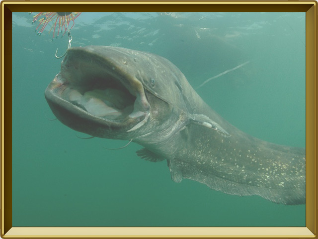 Сом — рыба, фото в рамке №2