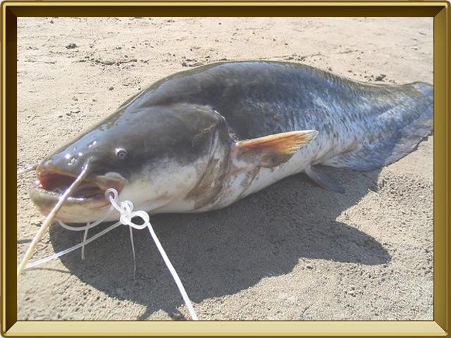 Сом — рыба, фото в рамке №3