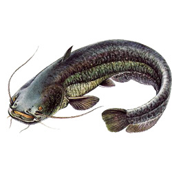 Сом — рыба, картинка цветная