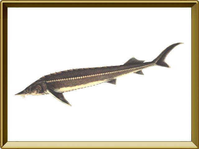 Стерлядь — рыба, фото в рамке №1