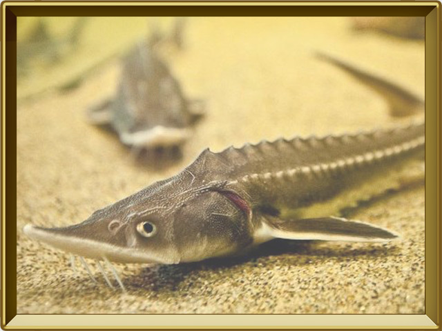 Стерлядь — рыба, фото в рамке №2