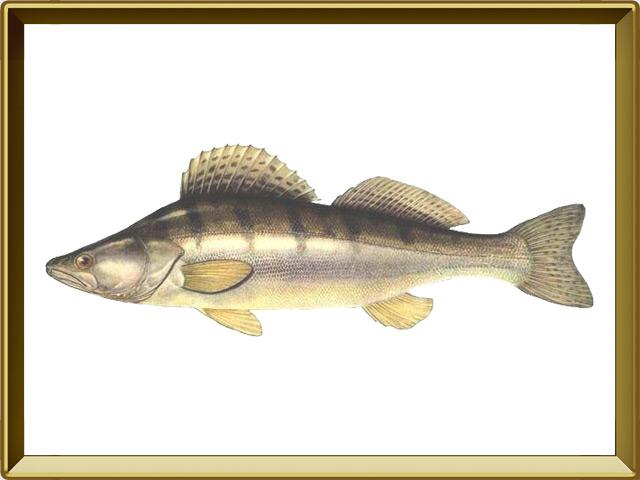 Судак — рыба, фото в рамке №1