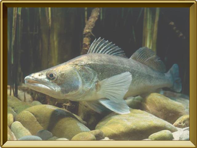 Судак — рыба, фото в рамке №2