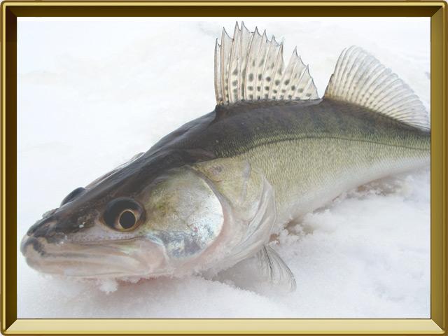 Судак — рыба, фото в рамке №3
