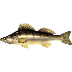 Судак — рыба, картинка цветная