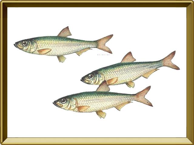 Тюлька — рыба, фото в рамке №1
