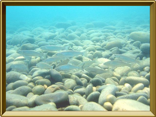 Тюлька — рыба, фото в рамке №2