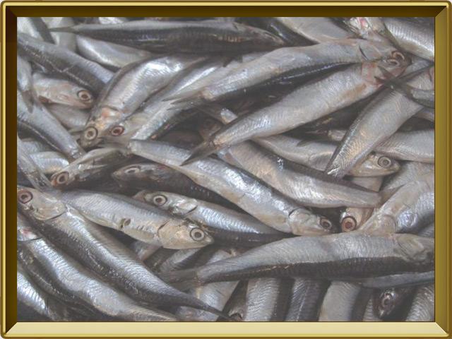 Тюлька — рыба, фото в рамке №3