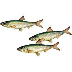 Тюлька — рыба, картинка цветная