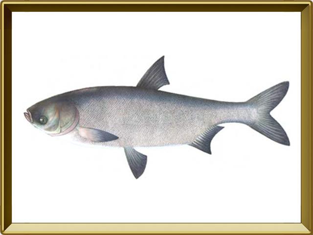 Толстолобик белый — рыба, фото в рамке №1