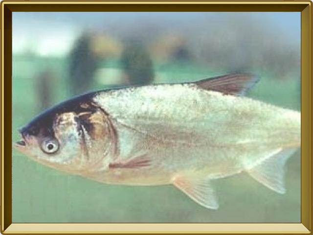 Толстолобик белый — рыба, фото в рамке №2