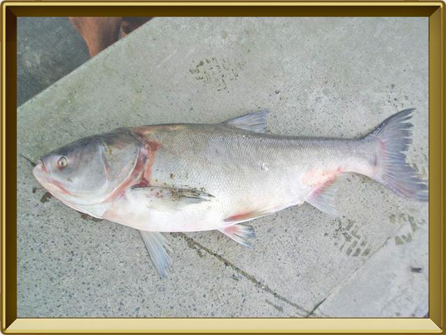Толстолобик белый — рыба, фото в рамке №3