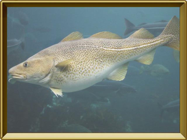 Треска — рыба, фото в рамке №2